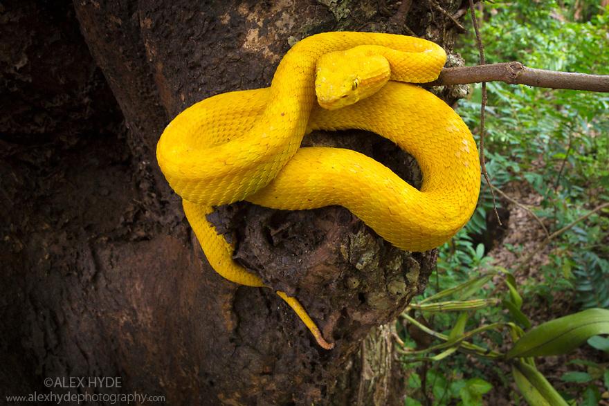 Eyelash Pit Viper {Bothriechis schlegelii} Costa Rica, May.