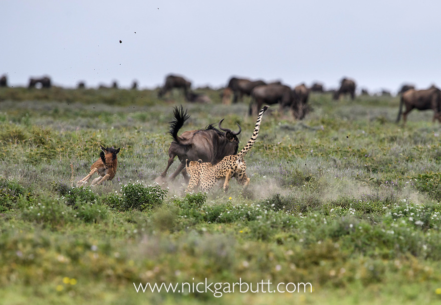 Male Cheetah (Acinonyx jubatus) chasing / hunting wildebeest calf and mother. Short grass plains of the Serengeti / Ngorongoro Conservation Area (NCA) near Ndutu, Tanzania.