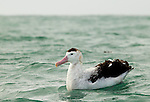 Antipodean Albatross (Diomedea antipodensis) on water, Kaikoura, South Island, New Zealand