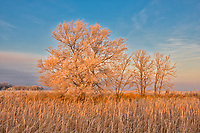 Trees in morning light, Lorette, Manitoba, Canada