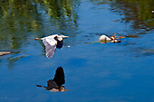 Great Blue Heron (Ardea herodias) on Los Angeles River, Glendale Narrows, Elysian Valley, Los Angeles, California, USA