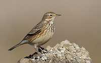 Pipit - American