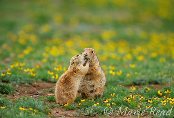 Black-tailed Prairie Dogs (Cynomys ludovicianus) &quot;kissing&quot;, Wichita Mountains National Wildlife Refuge, Oklahoma, USA<br />