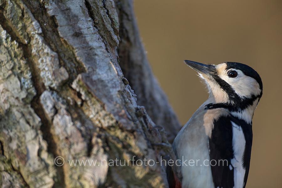 Buntspecht, Weibchen bei der Nahrungssuche an einem Baumstamm, Bunt-Specht, Specht, Spechte, Dendrocopos major, Picoides major, Great spotted woodpecker, female