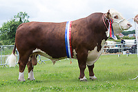 Rutland County Show 2017<br /> Solpoll 1 Hollywood owned by Newtoncroft Farms <br /> Picture Tim Scrivener 07850 303986<br /> &hellip;.covering agriculture in the UK&hellip;.