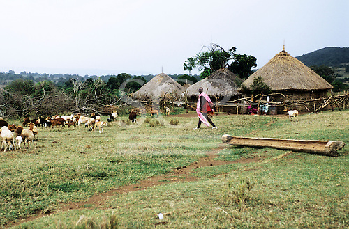 Lolgorian, Kenya. Maasai herdsman at his boma with his cattle, including cows and calves.