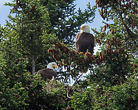 A nesting pair of Bald Eagles sit and guard their nest in an evergreen tree near Seward, Alaska.