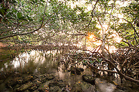 Interior of a Red Mangrove habitat, Florida Keys National Marine Sanctuary, Key Largo, Florida