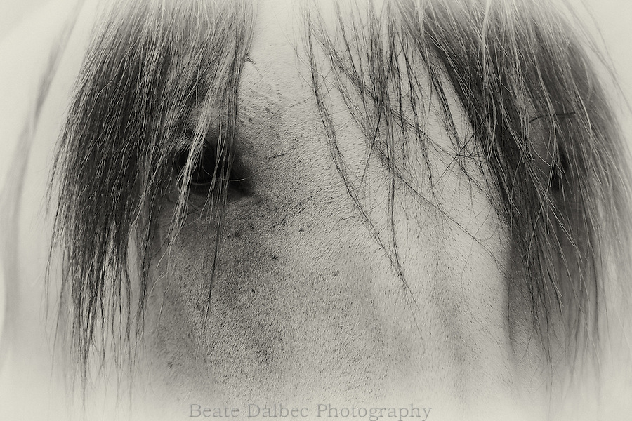 Lusitano horse portrait in black and white