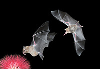 Common Long-tonged Bat - Glossophaga soricina