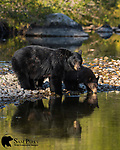 Black bear sow and cub drinking. Grand Teton National Park, Wyoming.