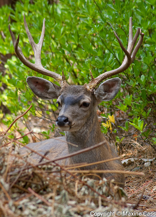 Mule deer (Odocoileus hemionus) [Wild] buck portrait in fall/autumn, Yosemite National Park, California