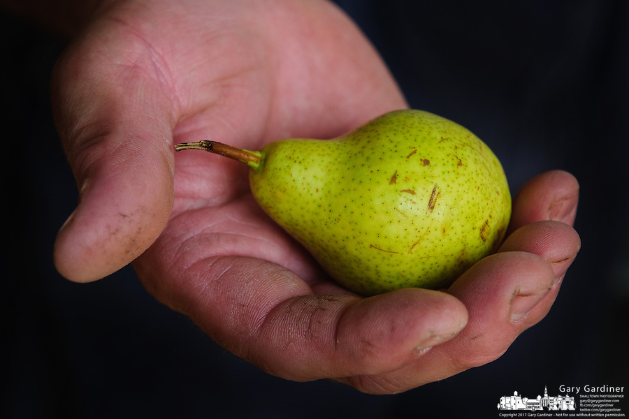 A farmer holds a ripe pear he grew for sale at a farmers market in a city parking lot