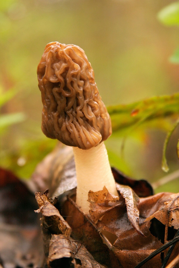 Early Morel growing on forest floor. Cascade Mountains, Washington.