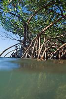 Mangroves growing in the waters of Cayo Jutias, Cuba.