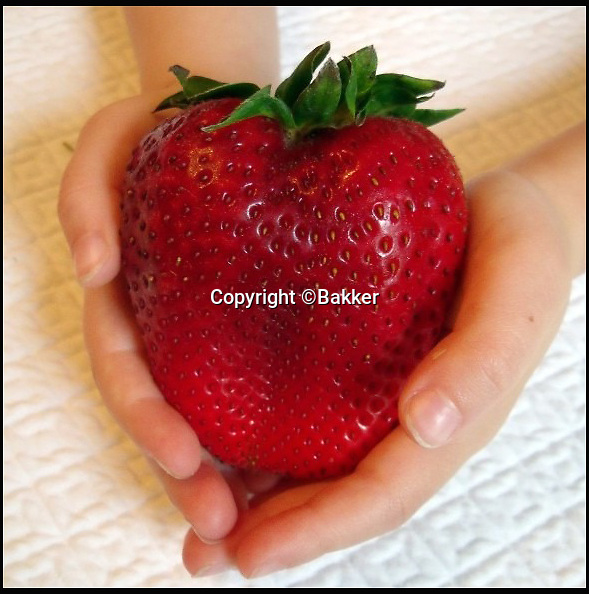 BNPS.co.uk (01202 558833)<br /> Pic: Bakker/BNPS<br /> <br /> Your going to need a lot of cream for this gigantic strawberry...<br /> <br /> Those who want to get into the spirit of Wimbledon in a big way this year can now grow their own giant strawberries - the size of a tennis ball.<br /> <br /> Gigantella Maxim produces massive strawberries that can fill the palm of a hand like an apple and are apparently delicious with fresh cream.<br /> <br /> Gardening company Bakker are now selling the plants so people can get their own mega fruity fix this summer.<br /> <br /> It has taken ten years of cross-pollinating the largest varieties of strawberry to produce a bigger and bigger fruit until experts finally had a product about six times the size of a normal strawberry.<br /> <br /> You can buy the plants online for &pound;10 for a pack of 25  - but you will need a big greenhouse to grow them in.