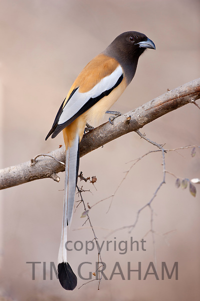 Indian Rufous Treepie, Dendrocitta vagabunda, bird in Ranthambhore National Park, Rajasthan, Northern India RESERVED USE - NOT FOR DOWNLOAD -  FOR USE CONTACT TIM GRAHAM