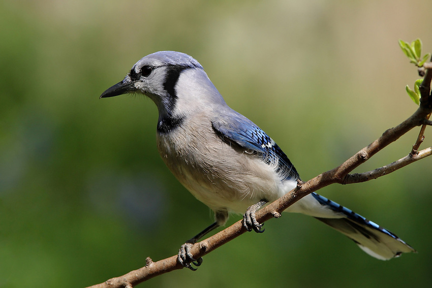 Texas Blue Jay in Spring.