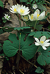 Bloodroot, Great Smoky Mountains NP, TN