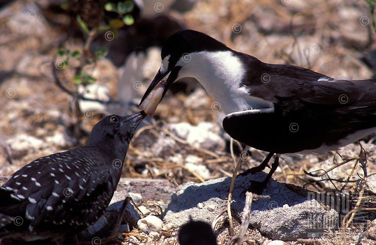 Sooty tern feeding squid to chick, Christmas I.Kiribati