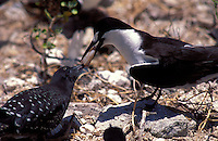 Sooty tern feeding squid to chick, Christmas I.Kiribati