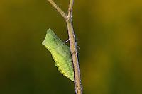 Schwalbenschwanz, Puppe, Gürtelpuppe, Papilio machaon, Old World swallowtail, common yellow swallowtail, swallow-tail, pupa, Le Machaon, Grand porte-queue
