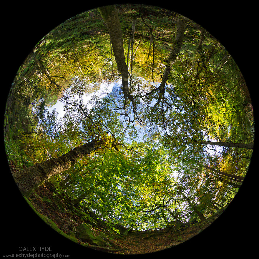 Looking upwards at deciduous woodland canopy through a circular fisheye lens. Peak District National Park, Derbyshire, UK. October.
