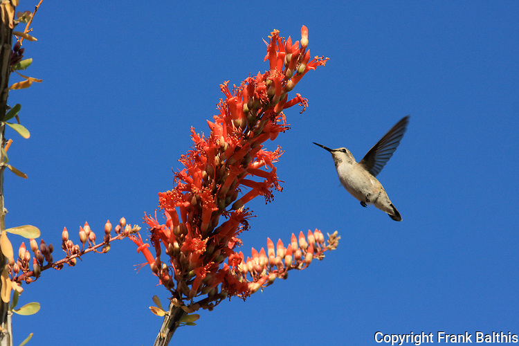 hummingbird and ocotillo bloom