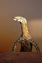 Australia, Northern Territory; Perentie lizard flicking tongue; Australia's largest lizard