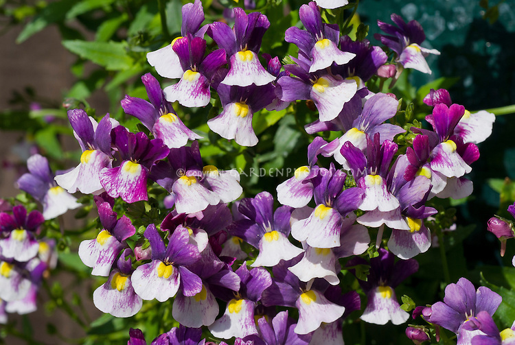 Nemesia Berries and Cream Berry series, annual flowers