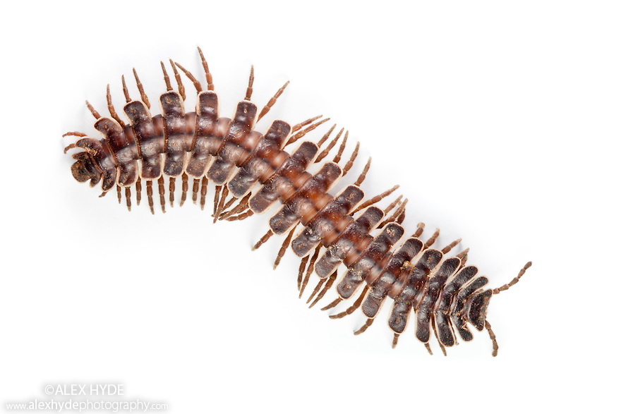 Tractor Millipede {Barydesmus sp.} photographed on a white background in mobile field studio in tropical rainforest. Danum Valley, Sabah, Borneo, Malaysia.
