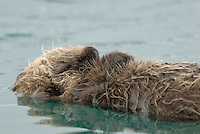 Young Sea Otter (Enhydra lutris) pup resting as mother dives for food.