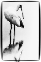Rotate Spoonbill, Photographed on TMAX 3200 black and white film, Merritt Island, Florida, 1995, (Photo by Brian Cleary/bcpix.com)