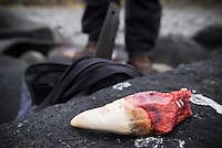 Large tooth of Sperm whale after being removed from carcass, Lofoten, Norway