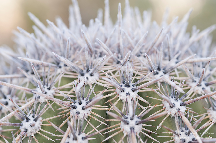 Tucson, Arizona; barrel cactus with early morning frost