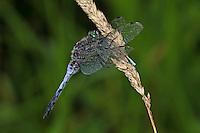 Großer Blaupfeil, Männchen frisst Kleinlibelle, Schwarzspitzen-Blaupfeil, Orthetrum cancellatum, black-tailed skimmer, male, Orthétrum réticulé