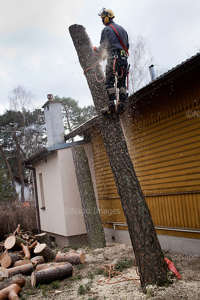 OTWOCK, POLAND, 15/03/2017:<br /> Grzegorz is cutting the tree that his team is felling in a small town of Otwock near Warsaw, March 15, 2017. The new controversial law has allowed to cut the trees that were previously banned and there's been a sure in cutting trees all over the country. <br /> (Photo by Piotr Malecki / Napo Images)<br /> ****<br /> OTWOCK,  15/03/2017:<br /> Wycinka dwoch drzew na prywatnej dzialce w Otwocku po wprowadzeniu przez ministra srodowiska Jana Szyszke prawa o swobodym wycinaniu drzew.Fot: Piotr Malecki / Napo Images