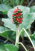 Arisaema triphyllum berry fruits seedhead ripening, red and green on same head