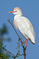 Cattle Egret - Bubulcus ibis - adult breeding plumage