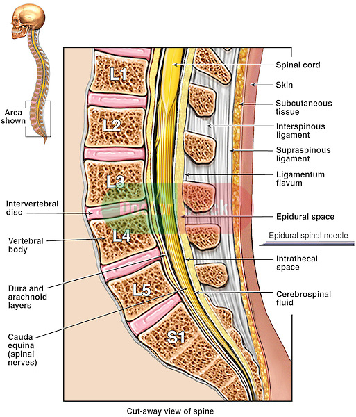 Anatomy Of The Lumbosacral Spine Doctor Stock