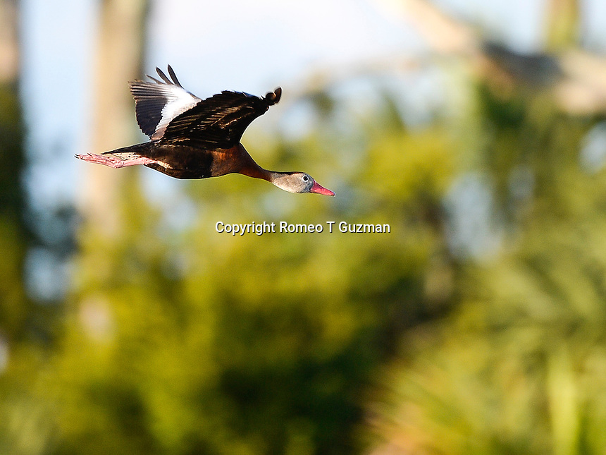 June 8, 2014: Black-bellied whistling duck (Dendrocygna autumnalis) Orlando Wetlands Park Christmas, FL