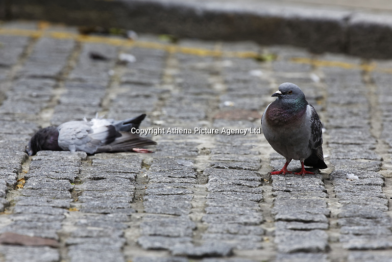 """Pictured: A male pigeon looks as if he mourns the loss of his partner in Wind Street, Swansea, Wales, UK. <br /> Re: A man who had just bought his first camera and long lens captures moment feral pigeon mourns the death of its partner.<br /> 30 year old Jonathan Thomas had just unpacked his brand new Canon camera and lens and was out taking pictures to test it.<br /> """"I was walking up and down Wind Street in Swansea when I saw a pigeon walking back and forth with the corner of my eye""""<br /> """"It just looked unfazed because passing cars and people didn't seem to scare him off""""<br /> """"I then noticed another dead pigeon lying nearby""""<br /> """"It was heartbreaking and looked as if he was trying to revive her, as if he wouldn't accept his partner's death""""<br /> """"Other people noticed me and started looking at the birds too, it was so moving""""<br /> """"You could see him trying to revive the other pigeon, pecking her gently, moving her with its leg""""<br /> """"At some point he climbs on top and it was as if he was trying to carry her away""""<br /> """"I was almost in tears, pigeons get such bad publicity but later I discovered they stick to one partner for life"""".<br /> """"I was there for about 45 minutes in the early afternoon, then returned after an hour or so to still see them both there""""<br /> """"I couldn't bear going back again, it was quite upsetting"""""""