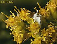 1020-06yy  Ambush bug nymph - Phymata spp. Virginia - © David Kuhn/Dwight Kuhn Photography