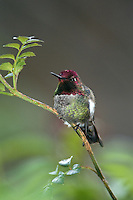 Anna's Hummingbird (Calypte anna) perched on a rose bush (California)