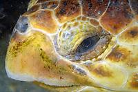 Loggerhead Turtle, Caretta caretta, off the coast of Jacksonville, Florida, Atlantic Ocean
