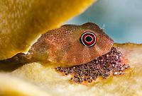 Red Clingfish, Acyrtus rubiginosus, guards its eggs, Bonaire, ABC Islands, Caribbean Netherlands, Caribbean Sea, Atlantic Ocean