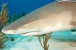 Lemon Shark head detail clearly showing the large Ampulae of Lorenzini. Negaprion brevirostris. Tiger Beach, Bahamas.