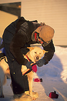 Musher puts booties on sled dog before the start of the Yukon Quest dog race between Fairbanks, Alaska and Whitehorse, Yukon Territory.