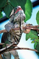 Green Iguana aka Common Iguana (Iguana iguana)