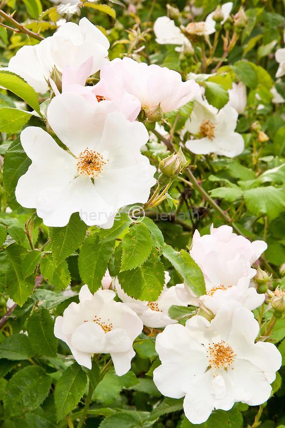 Rosa 'Daisy Hill', rose 'Daisy Hill'.